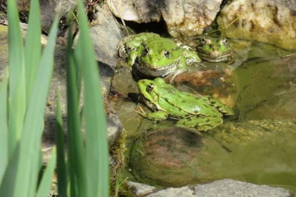 Les grenouilles sont de retour dès le mois d'avril.