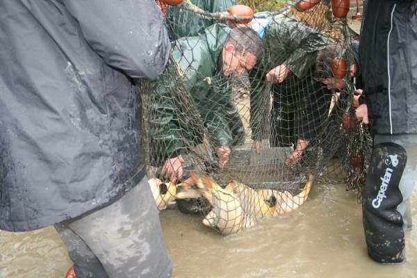 Pêche traditionnelle d'un étang en Dombes.