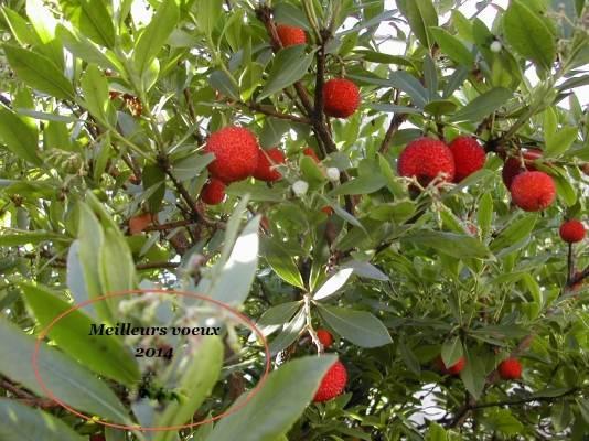 Arbousier ( l 'arbre à fraises) aux fruits comestibles en Septembre