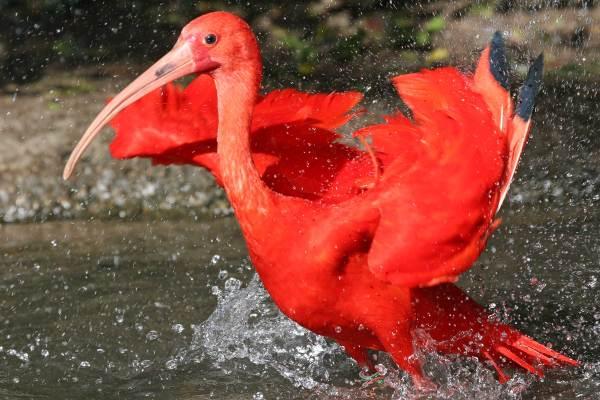 Découverte des Ibis Rouge au Parc des Oiseaux à Villars-les-Dombes