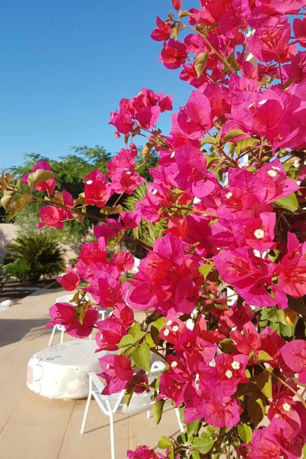 les belles fleurs d'un bougainvilliers