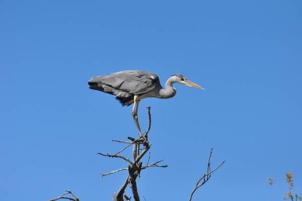 Héron cendré au parc ornithologique
