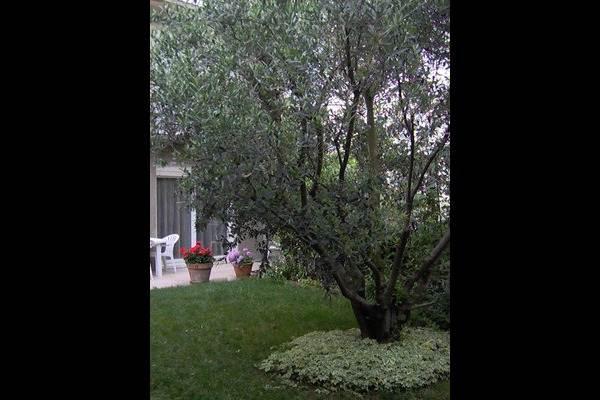 l'olivier dans le jardin