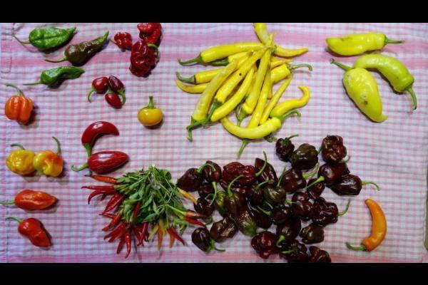 une collection de piments de notre jardin