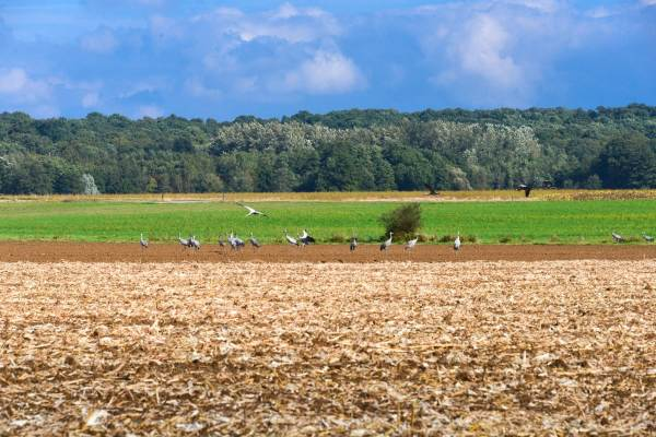Migration des grues cendrées : un spectacle étonnant à découvrir !