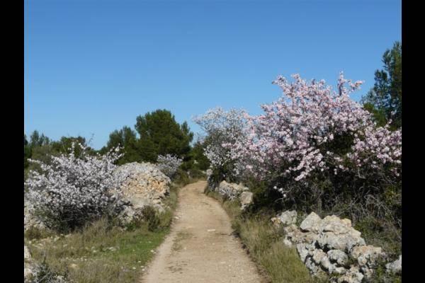 les Corbières - Amandiers en fleurs