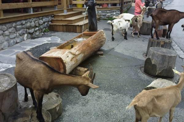 les chèvres des lindarets en été